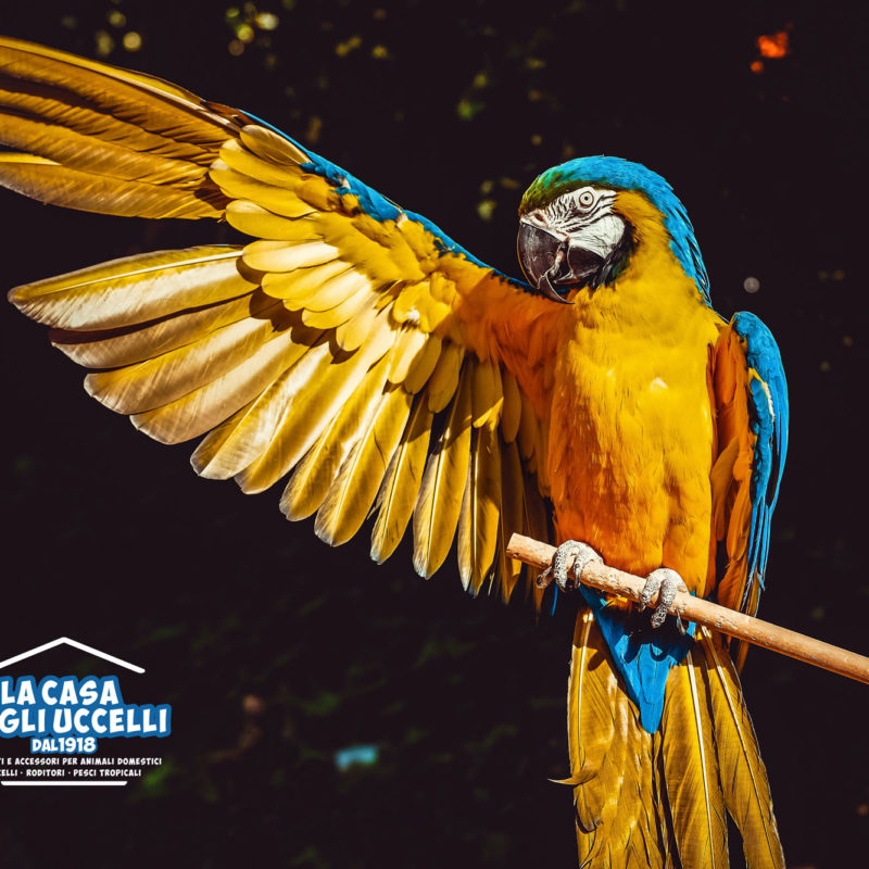 photo-of-yellow-and-blue-macaw-with-one-wing-open-perched-on-2317904